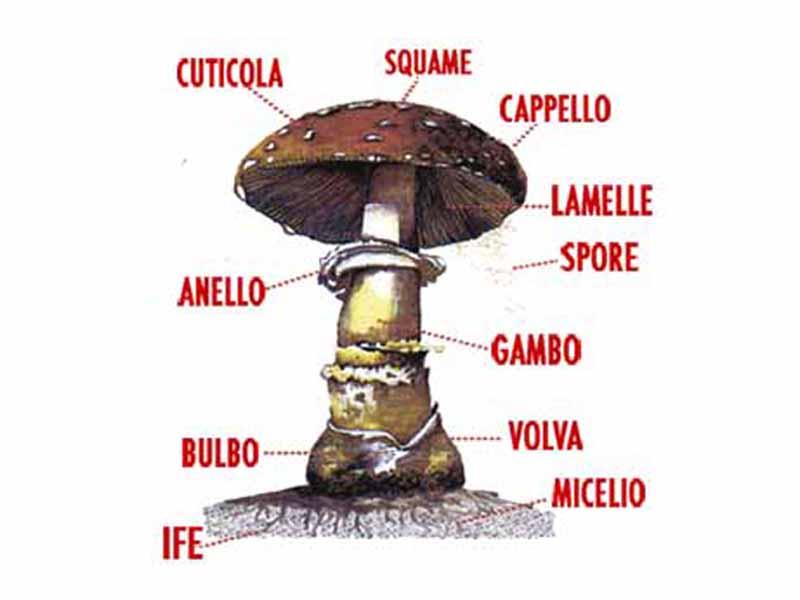 fungoide
