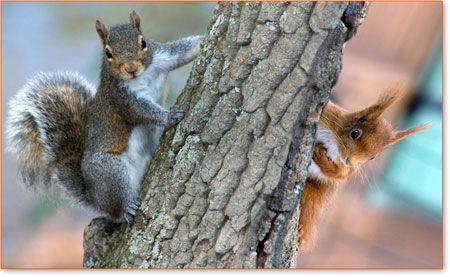 tn scoiattolo-grigio-rosso